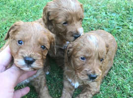 Adorable Cockapoos for sale