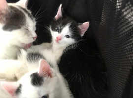 Beautiful, playful, loving 8 week old kittens. Ready to find a new, forever, loving new home.