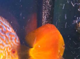Discus fish proven pair