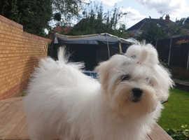 Maltese puppy girl KC