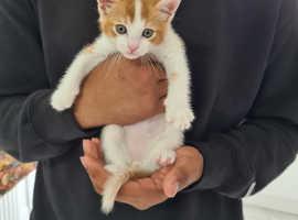 8 week old male kitten, litter trained, dewormed