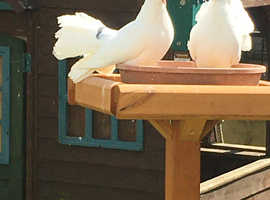 Young fantail doves