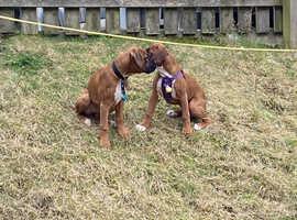 Bob tail boxer pups