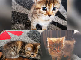 Black and white left only price reducedBengal x ragtail kittens for sale