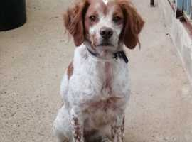 WANTED Brittany Spaniel  good home waiting.