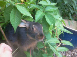 Baby Black and Tan & Rufus Red Belgian Hare Rabbits