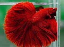 Super Red FM(Full Moon) Betta **Available**