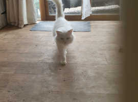 Stolen special needs Persian white
