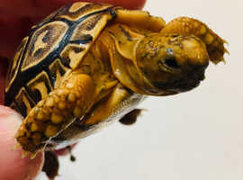 Leopard tortoise babies
