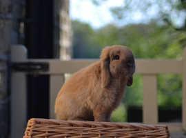 Mini lop doe