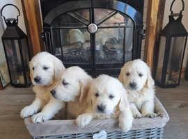 Ice White KC Registered Golden Retriever Puppies