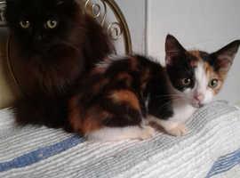 Angora x kittens