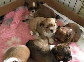 KC REG ~ 5  lovely Lhasa Apso puppies  2 girls 3 boys ready sat ~ had 1st injection & microchipped