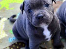 Quality Male And Female Blue Puppie