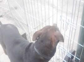 Staffy x pups due next week