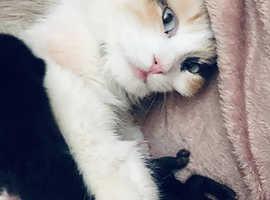 Ragdoll kittens blue eyes big and fluffy