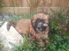 Cavachon x  Girl pup