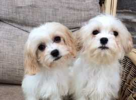 MALE CAVACHONS