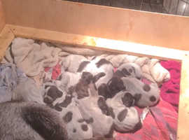 GWP puppies for sale