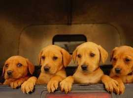 Fox Red Labrador pups for sale