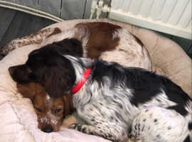 Two loving Brittany spaniels puppies
