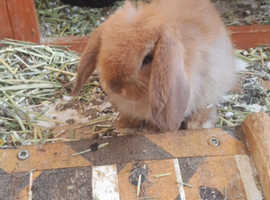 Beautiful Lop eared bunny for sale 8 weeks old....