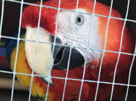 Super Tame Scarlet Macaw
