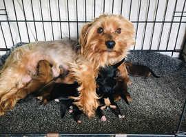 Chorkies Puppies