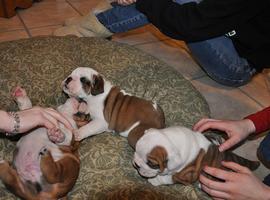 Ready Now!kc Reg Huu Clear English Bulldog Puppies