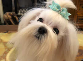 Maltese tiny dog at stud looking to mate breed kc proven girlfriends wanted
