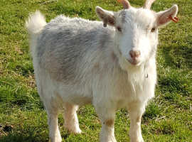 Pygmy goat females for sale