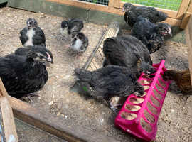 13 one month okd chicks for Sale