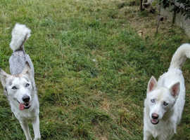 Husky females 1.5 & 1 years