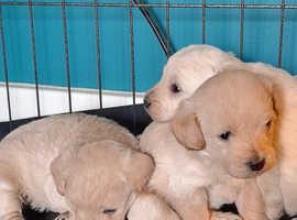 4 beautiful westiepoo puppies