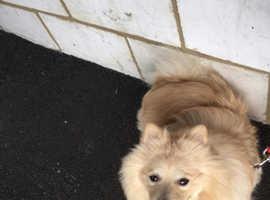 Pomeranian for stud