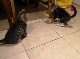 Brother & sister tabby kittens