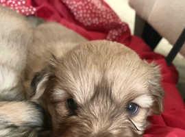 Shiranian Puppies - (Pomeranian & Shih Zu)