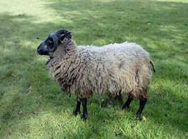Pedigree Shetland Shearling Ram
