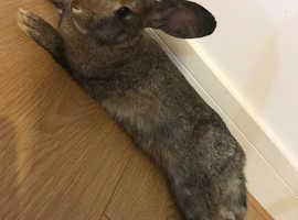 Loop rabbit - female