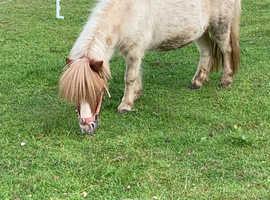 Shetland mare for sale Essex
