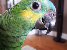 Blue fronted amazon parrot - Female