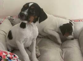 3 x boy parson puppies