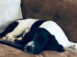 7 month Springer spaniel for sale