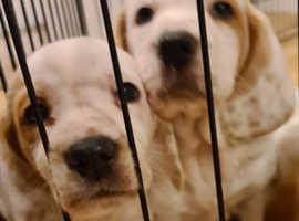 Basset hound puppy's