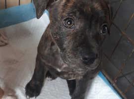 Staffordshire bull terrier puppy bitch