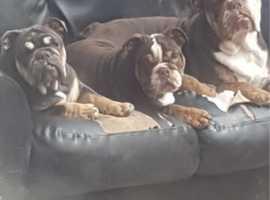 Last bulldog girl avaliable