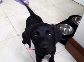 Beautiful Labradoodle Puppy (F1B) Black Female (8 weeks old)