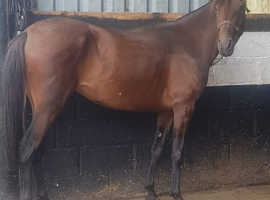 NEW YOUNG MARE AVAILABLE