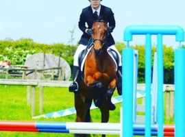 Super Pony Club/ Riding Club mare