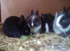 Baby Netherland dwarf rabbits for sale.